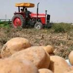آغاز برداشت سیب زمینی از مهترین قطب تولید سیب زمینی کشور