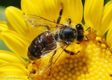 hony-bee