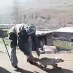 عاملان سلاخی روباه پیرانشهر شناسایی شدند + فیلم