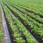 آذربایجان غربی رتبه نخست تولیدچغندر قند