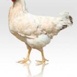 سنی یاناسان تویوق آپاران – بسوزی ای مرغ دزد