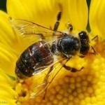 تولید بیش از 470 تن عسل در شهرستان تکاب