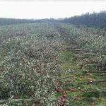 قطع درختان باغ سیب به دلیل فروش نرفتن محصولات صحت دارد